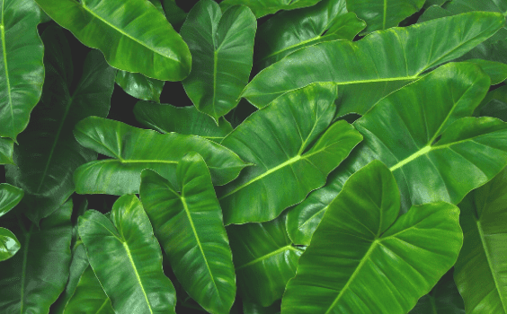 Philodendron Burle Marx Plant Care