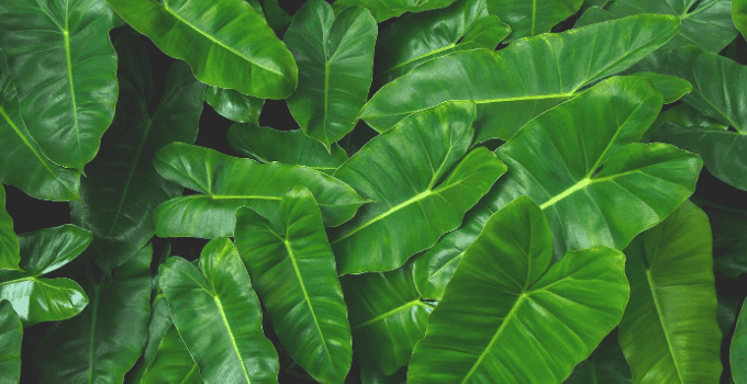 Philodendron Burle Marx Best Care Tips