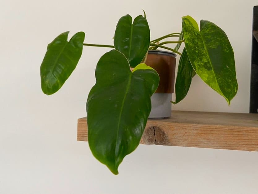 Philodendron Burle Marx Variegated Updated
