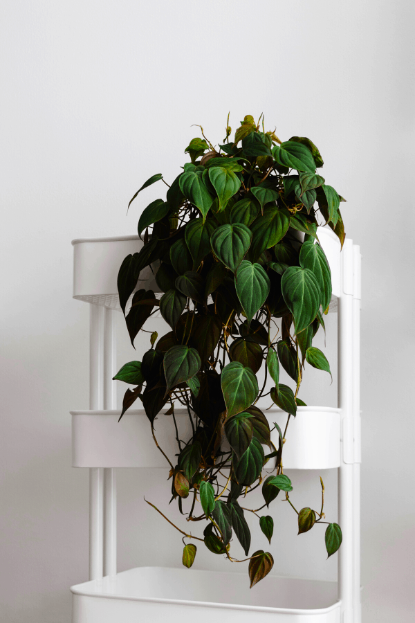 Philodendron Micans Full Plant