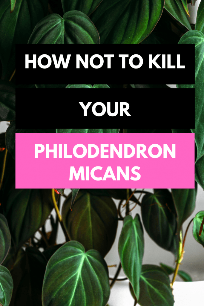 Philodendron Micans Plant Care (2)