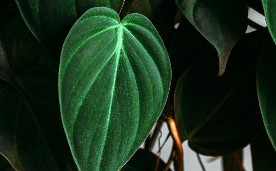 Philodendron Micans Plant Care
