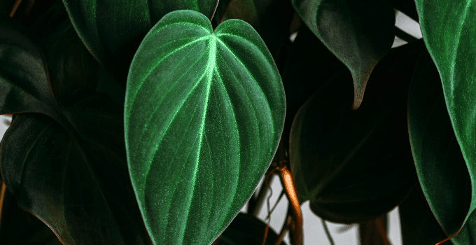 Philodendron Micans #1 Best Care Hacks