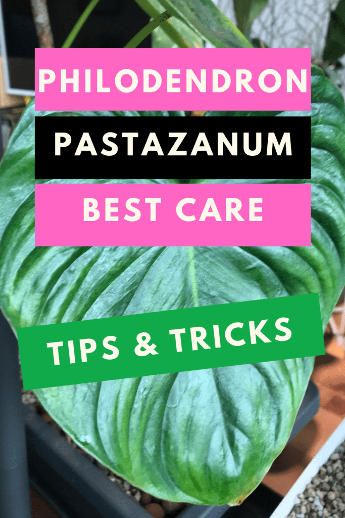Philodendron Pastazanum Care - Simple Steps To Success 1