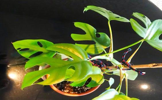 Rhapidophora Tetrasperma Plant Care