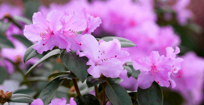 Rhododendron Plants Need Drainage Holes