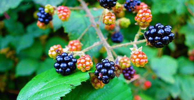 Blackberry (Rubus Fruticosus) Plant Care