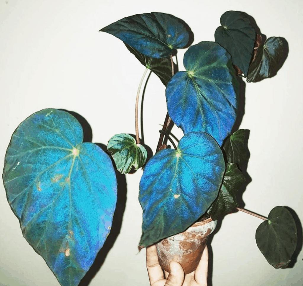 Begonia Pavonina Care