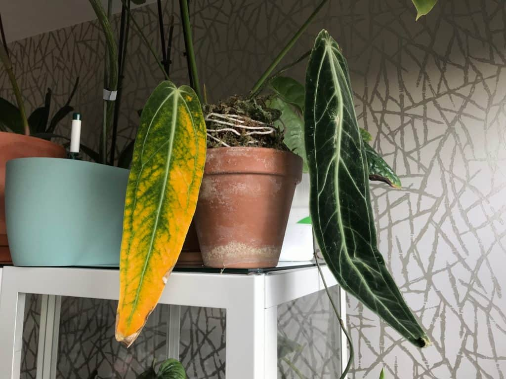 Anthurium Warocqueanum Care