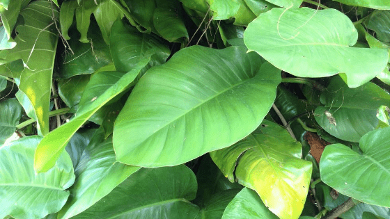 Philodendron Giganteum #1 Care Instructions