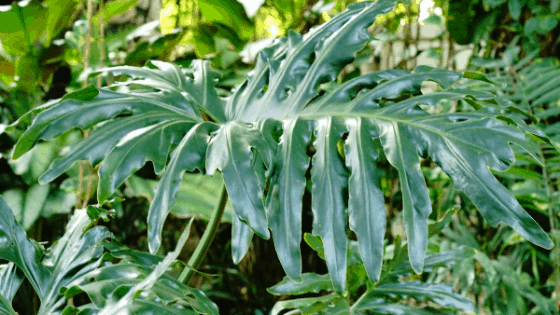 Stunning Philodendron Mayoi Leaf