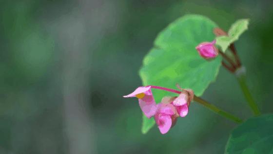 Begonia Grandis carries beautiful flowers