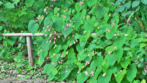 Begonia Grandis Care