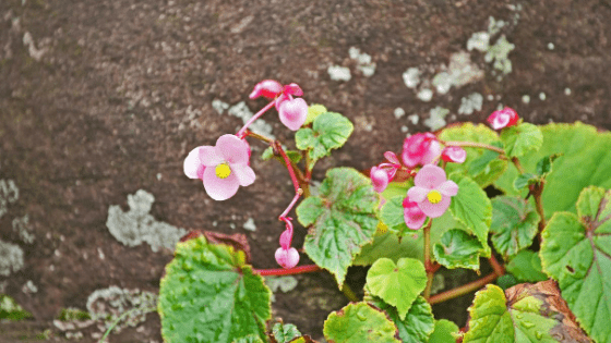 Begonia Grandis requires well draining soil to thrive