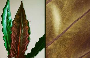 Alocasia Lauterbachiana Plant Care Guide