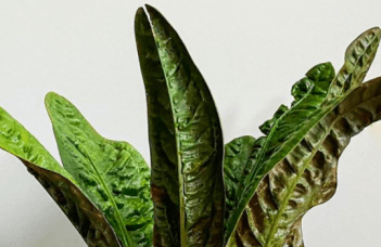 Anthurium Superbum Plant Care Guide