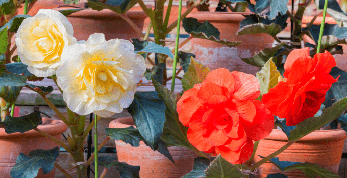 "Begonia ""Nonstop"" Care Secrets Unveiled"