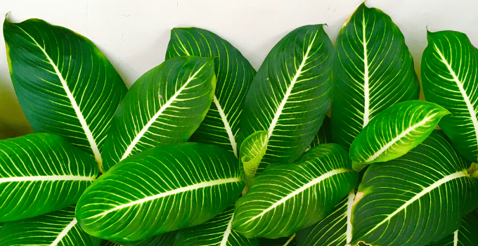 Dieffenbachia Dumb Cane is Perfect for East-Facing Windows