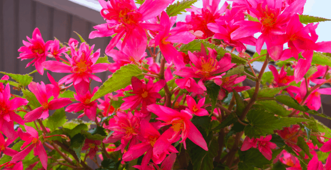 Double Begonia Plant Care