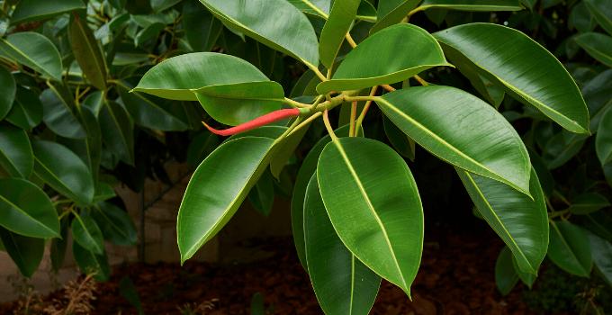 East-Facing Window Plant Ficus Elastica