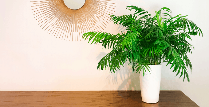 East-Facing Window Plant Parlor Palm
