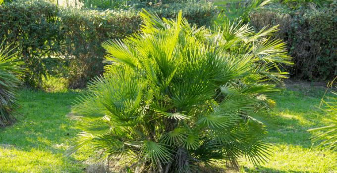 East-facing window plants European fan palm