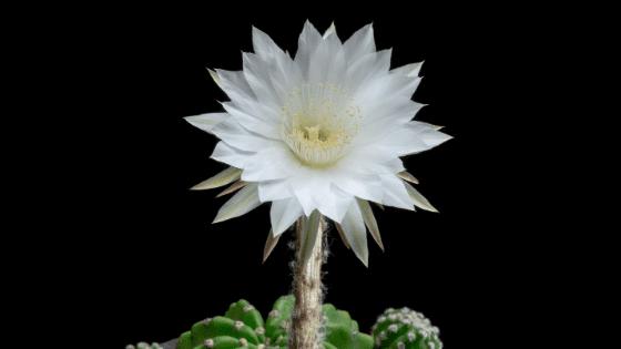 Echinopsis Subdenudata Care – #1 Best Tips&Tricks