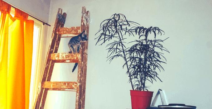 False Aralia (Schefflera elegantissima)
