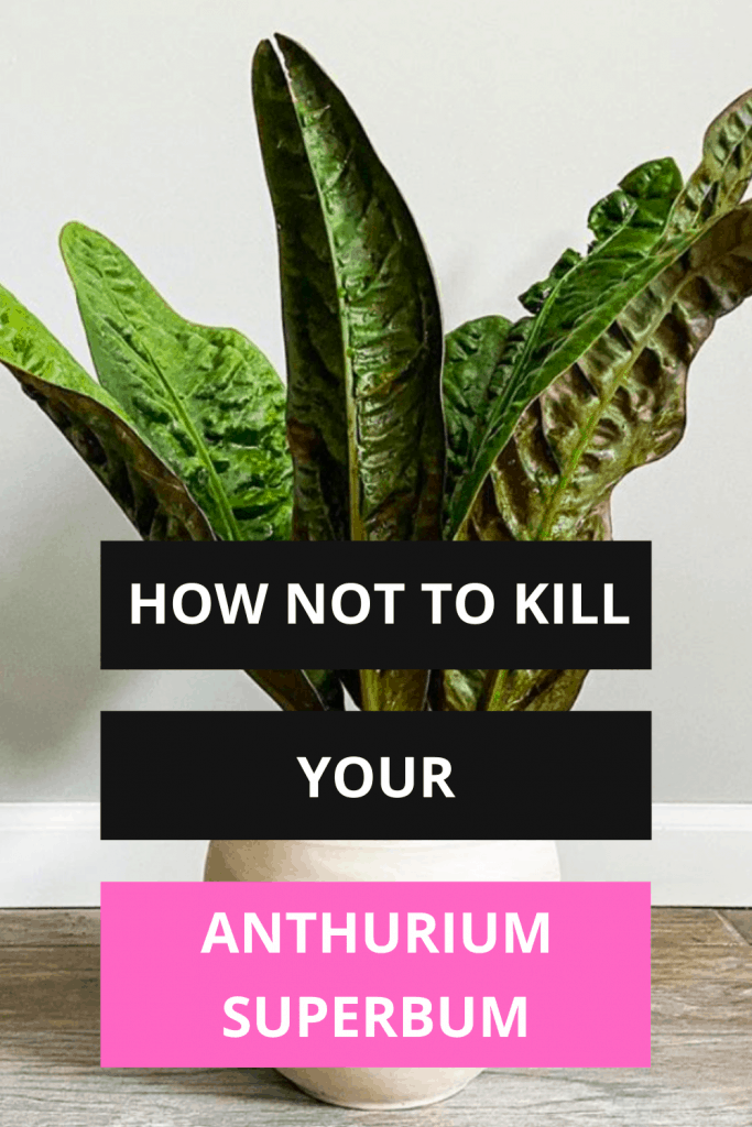 Anthurium Superbum #1 Superb Plant Care Guide 1