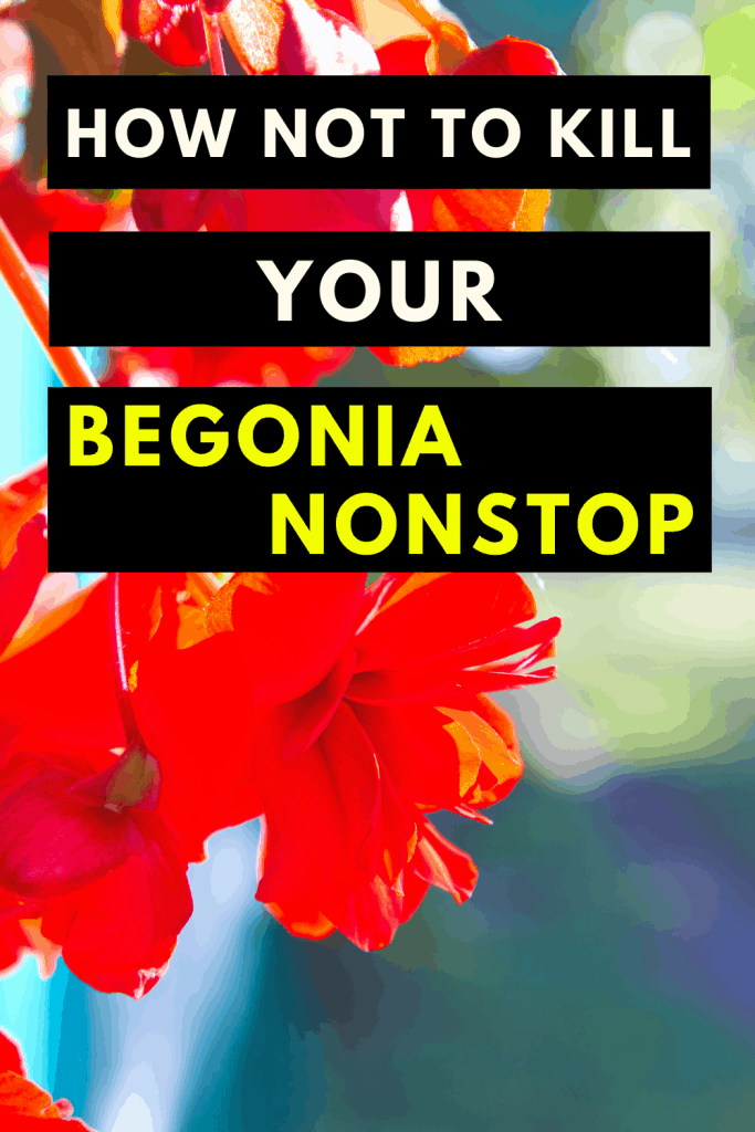 "Begonia ""Nonstop"" Care Secrets Unveiled 1"