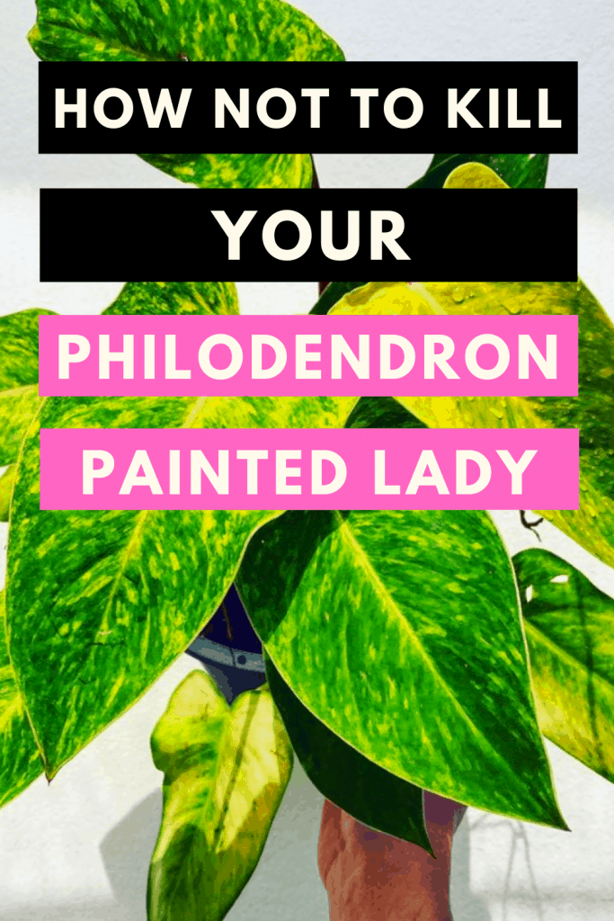 How Not To Kill Your Philodendron Painted Lady