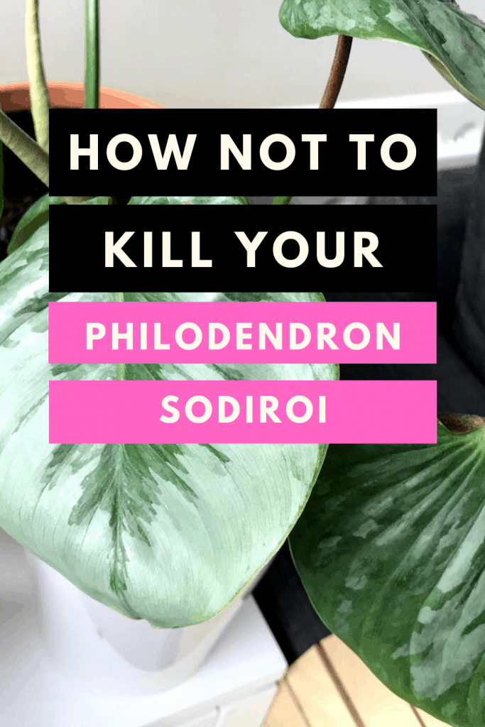 How not to kill your Philodendron Sodiroi