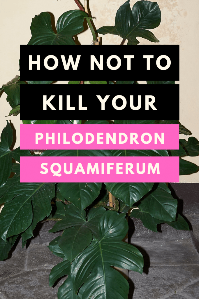 Philodendron Squamiferum Care