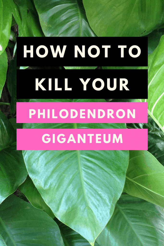 How not to kill your Philodendron giganteum