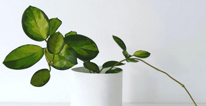 Hoya Australis Plant Care