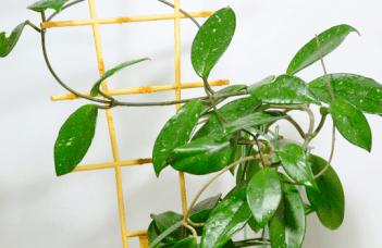 Hoya Bella Plant Care
