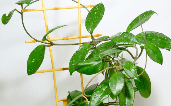 Hoya Bella Plant Care