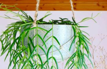 Hoya Linearis Plant Care