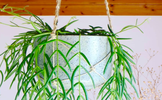 Hoya Linearis Plant Care