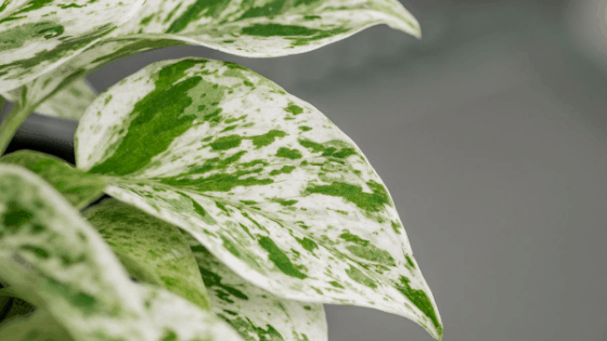 Marble Queen Pothos Care