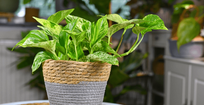 Marble Queen Pothos – A Complete Care Guide