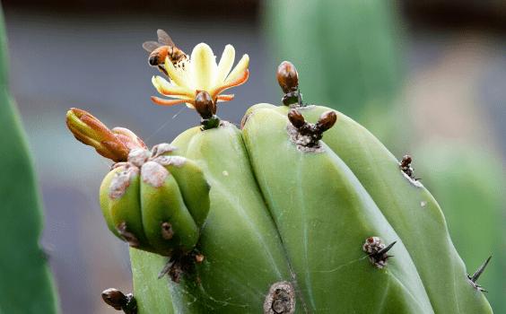 Myrtillocactus Geometrizans Plant Care