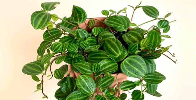 Peperomia-Quadrangularis-Care