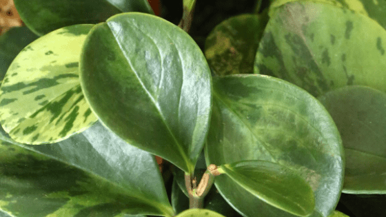 Peperomia Scandens Care