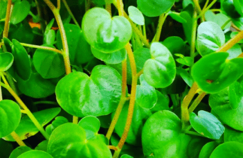 Peperomia Serpens #1 Best Care Tips 1