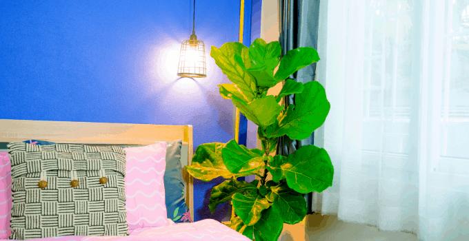 Perfect East-Facing Window Plant Fiddle Leaf Fig