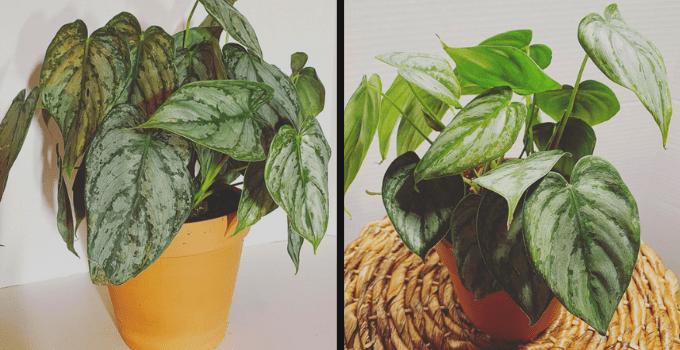Philodendron Brandtianum Plant Care
