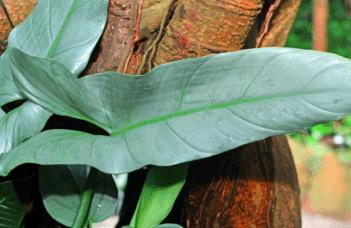 Philodendron Hastatum Plant Care
