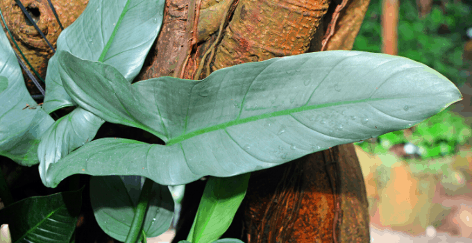 Philodendron Hastatum Plant Care