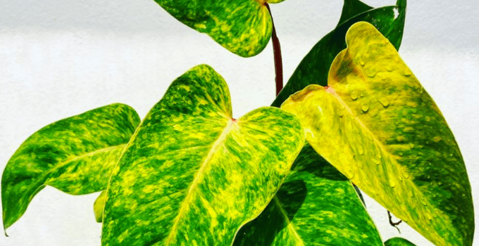 Philodendron Painted Lady Care